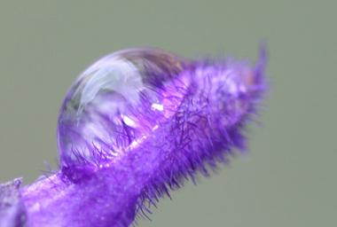 Lavender_006ss