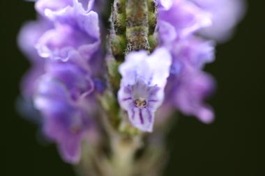 2009_04_20_lavender_006_2