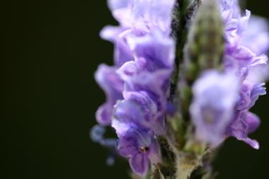 2009_04_20_lavender_012