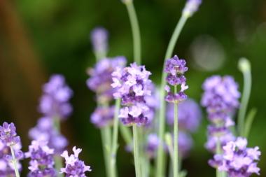 2009_05_02_lavender_002