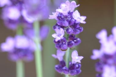 2009_05_02_lavender_020