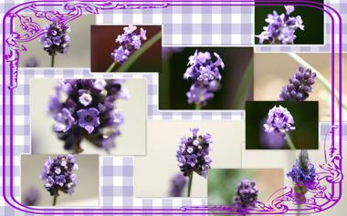 Lavenderwall200905291