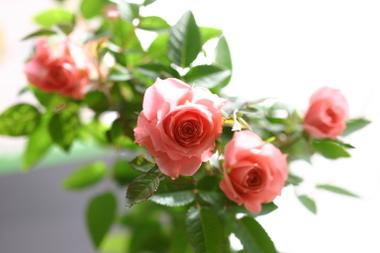 Rose_029