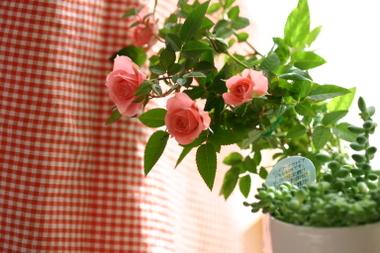 Rose_034